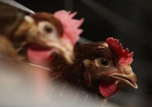 Экспорт курятины - Украина-ЕС - Украина может начать экспорт курятины на богатый рынок ЕС уже через неделю - Госветфитослужба