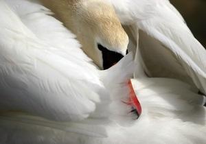 В Риге лебедь утопил мужчину