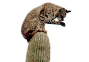 Фотогалерея: Рысь на кактусе