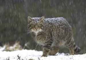 Новости Беларуси - Зоологи: В Беларуси полностью истребили популяцию лесного кота - дикие коты - зоологи