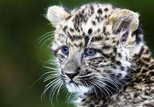 В Индии за 10 лет браконьеры уничтожили почти три тысячи леопардов