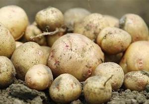 Украина за полгода увеличила экспорт картофеля в 62 раза