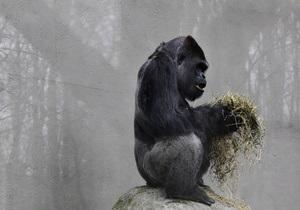 Из зоопарка Баффало пыталась сбежать 180-килограммовая горилла