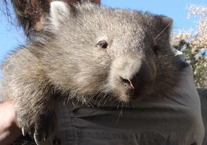 Австралийские вомбаты отравились растением-мигрантом