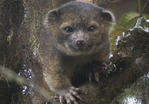 В Америке нашли новый вид млекопитающего - олингито