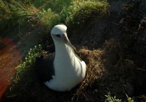 Гавайский альбатрос добрался до Калифорнии на судне и автомобиле