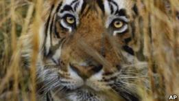 Жителей индийской деревни переселяют ради тигров