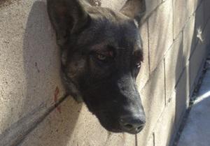 В Лос-Анджелесе спасатели помогли застрявшей в стене собаке