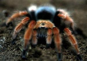 Новости науки: На Шри-Ланке случайно нашли новый вид гигантского паука-птицееда