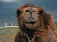 В Эмиратах пройдет конкурс верблюжьей красоты