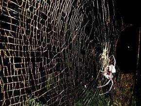 Ученые обнаружили самого крупного паука, живущего на паутине