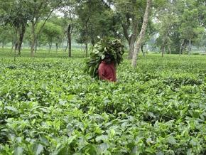Из-за забастовок в Индии прекратили сбор самого изысканного чая в мире