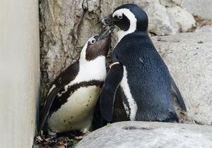 В Торонто разлучат пару пингвинов-геев