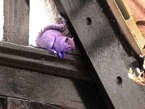 Британские школьники обнаружили фиолетовую белку