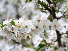 В Приднестровье вновь расцвели яблони и вишни