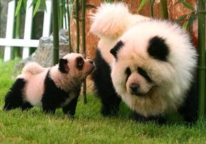 Фотогалерея: Тигротривер и панда-чау. Экзотичные питомцы китайского зоопарка