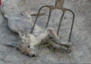 В Черниговской области поймали детеныша чупакабры