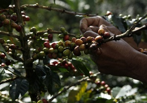 В Гватемале объявлено ЧП из-за  кофейной ржавчины