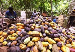 Экспортеры проигнорировали аукцион крупнейшего в мире производителя какао