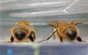 В Австралии ученый подкармливает пчел кокаином