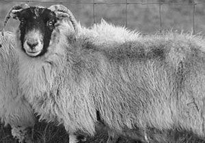 В Великобритании, сорвавшись с утеса, погибла старейшая в мире овца