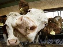 Ученые: Домашний рогатый скот умеет правильно располагаться во время сна