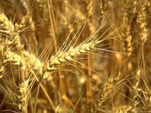 Минагрополитики: Украина соберет в этом году 48,7 млн тонн зерна
