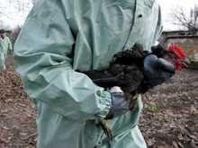 В Крыму обнаружены погибшие от птичьего гриппа птицы