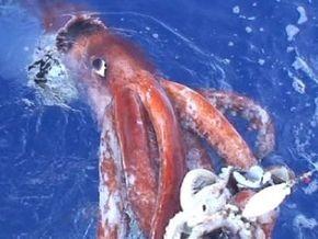 Глубоководные кальмары практикуют агрессивный секс