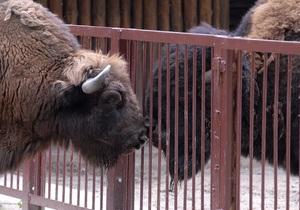 В Киевском зоопарке родился детеныш зубра