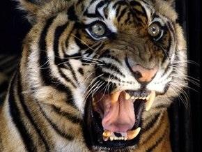 Из-за ошибки переводчика Россия подарит Южной Корее редчайших тигров