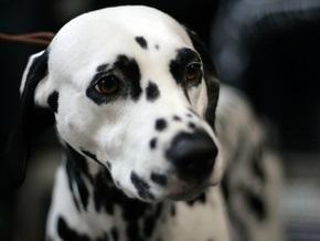 Британцу, чей пес растолстел до 70 кг, запретили заводить собаку в течение десяти лет