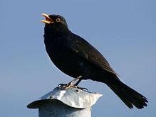 Птичий террор в Чикаго: черные дрозды атакуют людей