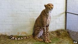 В аэропорту Лондона задержан гепард, летевший в Россию