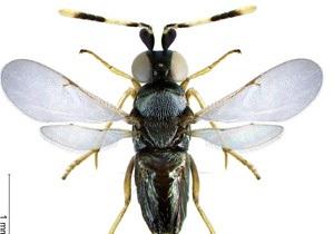 Американские ученые спасают урожай при помощи мушек-дрозофил