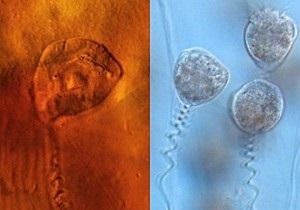 Ученые обнаружили древнюю инфузорию в яйце арктической пиявки