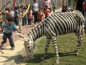 Фотогалерея: Ослозебры палестинского зоопарка