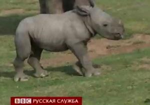 В США показали детеныша редкого носорога