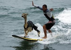 Перуанец научил альпаку заниматься серфингом
