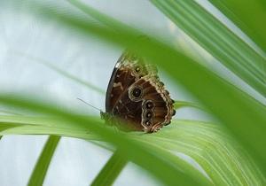 Ученые выяснили, как бабочки спасаются от сексуальных домогательств