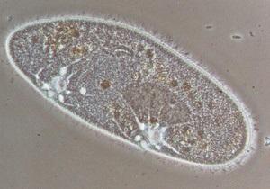 Новости науки: Ученые: Инфузории выбирают из семи полов