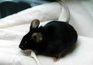 Японские ученые предложили выращивать человеческие органы в животных