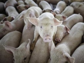 В Египте решили уничтожить всех свиней