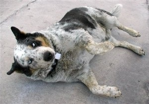 В Луцке ввели плату за содержание собак