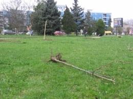 В Ужгороде неизвестные уничтожили аллею сакур