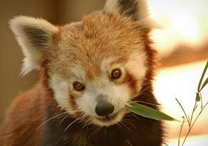 Новости США - новости о животных: Из вашингтонского зоопарка сбежала красная панда