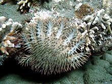 Морские звезды разрушают уникальную экосистему