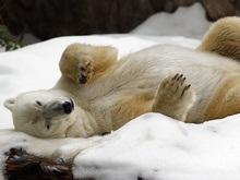 США разрешат бурить Аляску. Белые медведи под угрозой