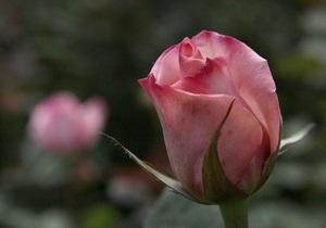 В Киеве в 2012 году высадили более 15 тыс. роз