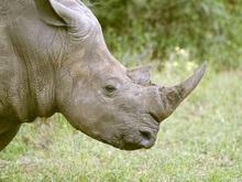Получены фотографии редчайшего в мире носорога